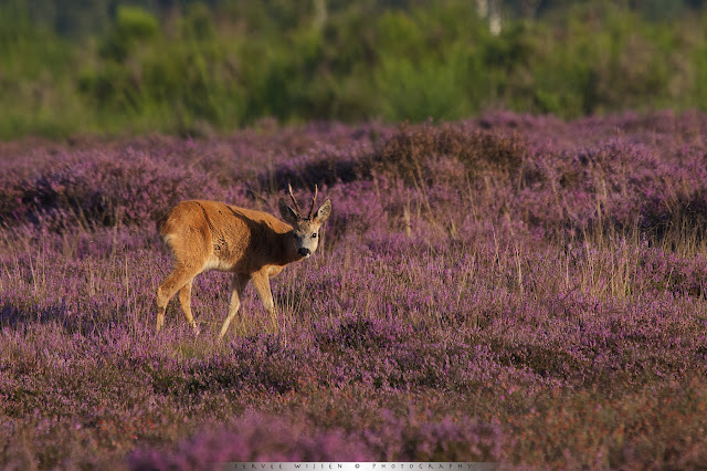 Een Reebok lijkt te genieten van de zon - A Roe Deer buck seems to be enjoying the sun