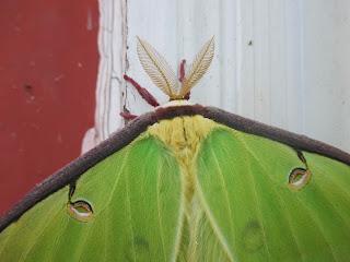 fuzzy green moth