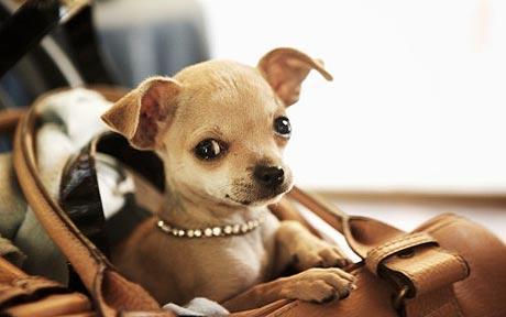 Attractive I Chihuahua Possono Capire Gli Stati Du0027animo Grazie Alla Sua Sensibilità,  Un Tono Forte Di Voce Brusco E Freddo Può Mettergli A Grande Disagio.