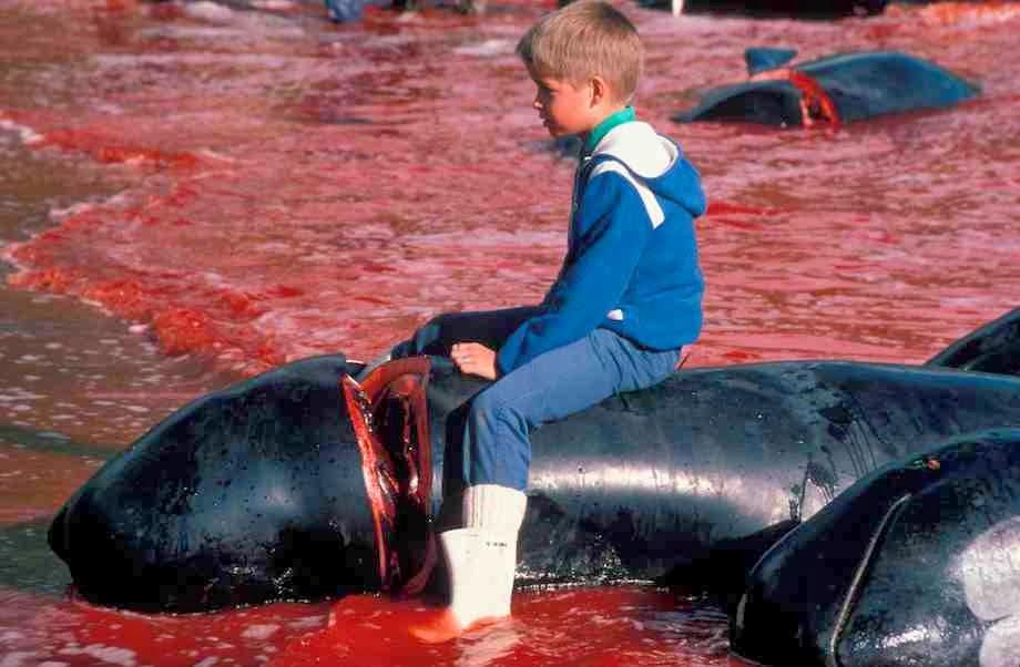 A caça às baleias-piloto é faz parte da cultura social das Ilhas Faroé.