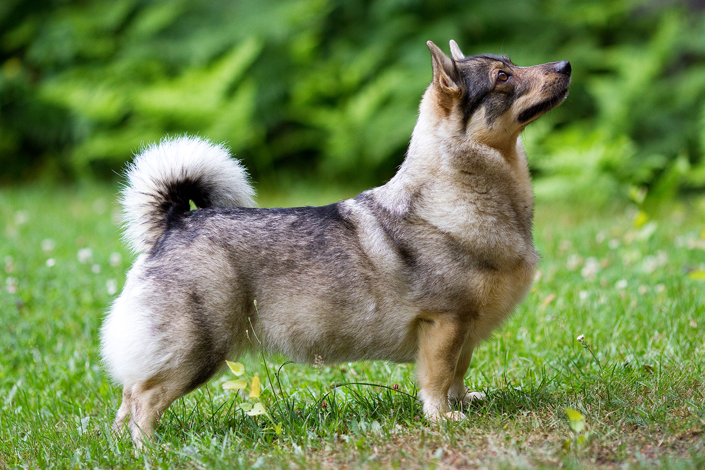 Mixers Mixers Vicking Vs Wolf ~ Konnunkodon swedish vallhunds västgötaspets litters