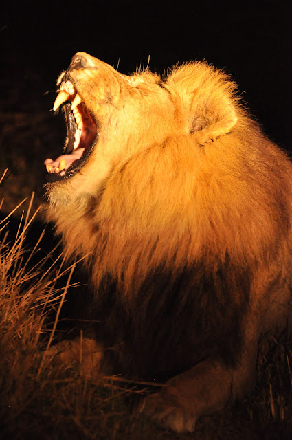male lion - roar