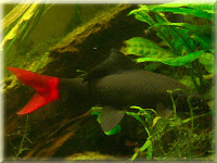Red Tailed Shark Fish Pictures
