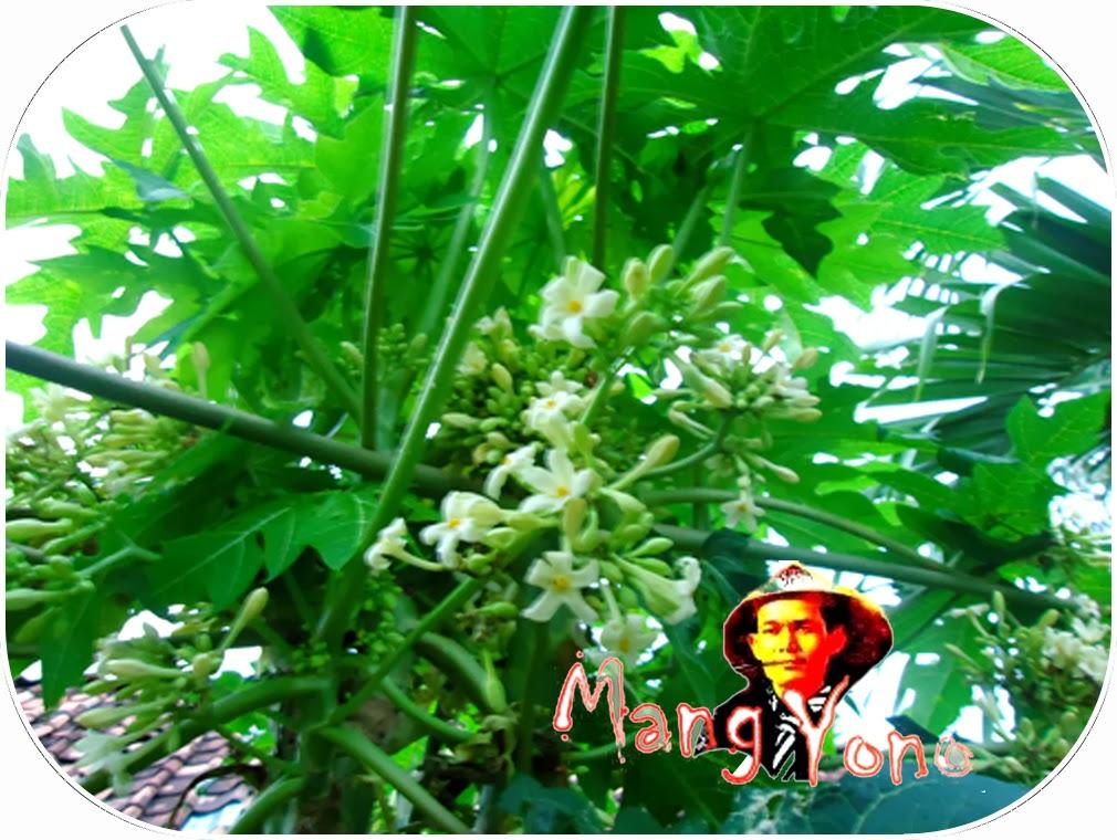 Daun atau bunga pepaya  di belakang rumah Mang Yono
