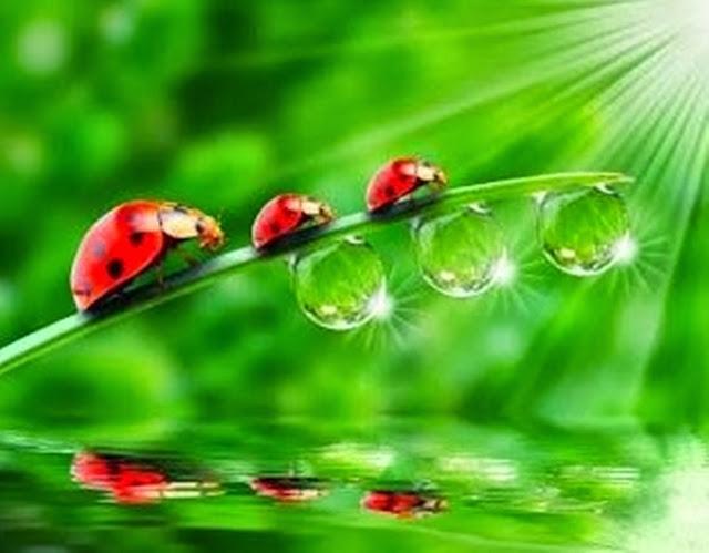O inseto coleópteros, da família Coccinellidaejoaninha, popularmente conhecido como Joaninha, é uma das maravilhas de Deus na lavoura brasileira. Além de bonito, é predador de muitos outros insetos nocivos às plantações