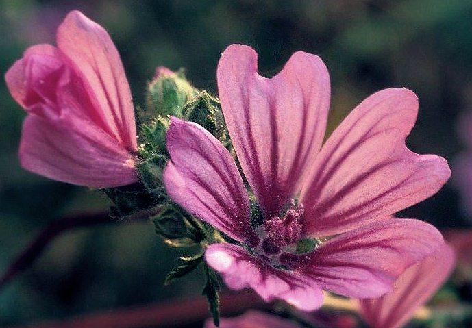 floare nalba mare