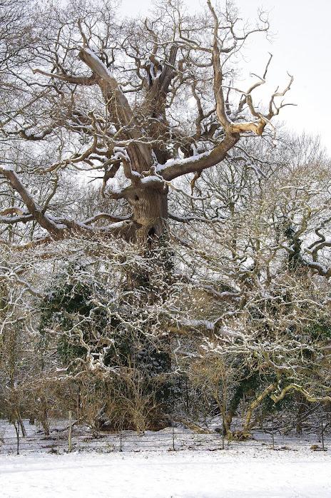 Majesty Oak