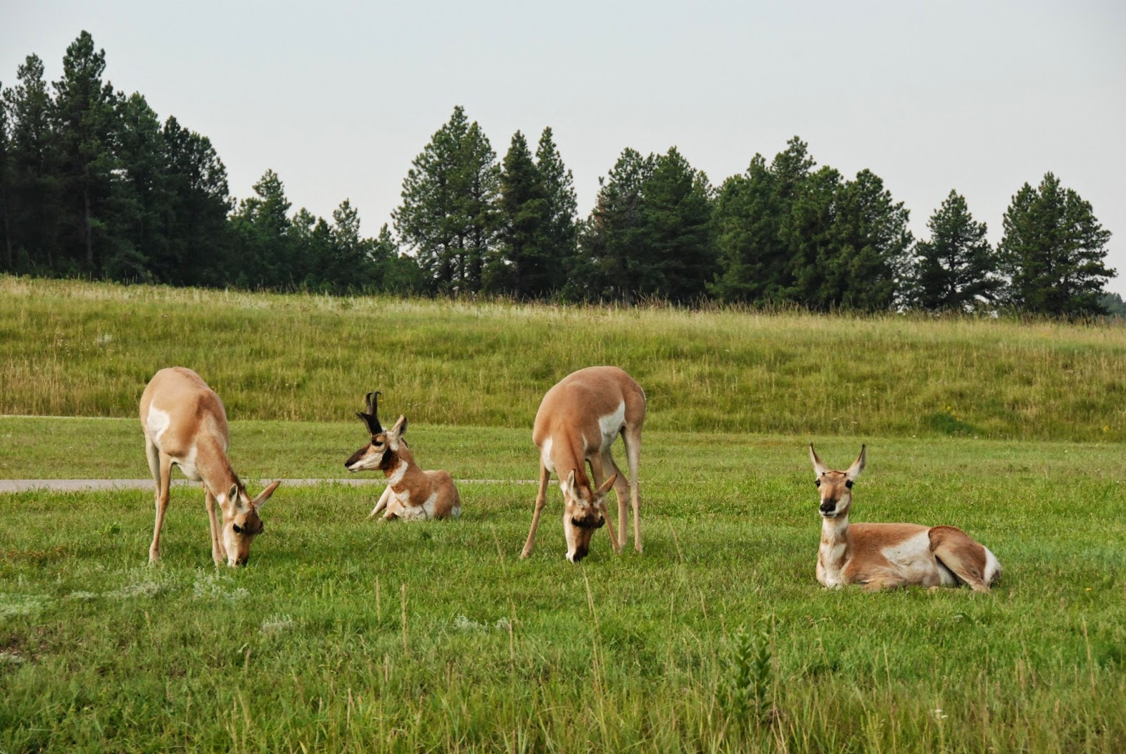 pronghorn, black hills, south dakota