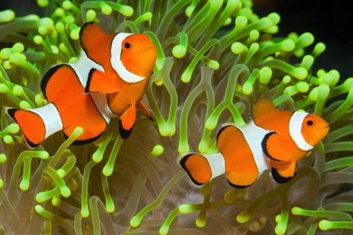 9 Cara Memelihara Ikan Badut dalam Akuarium agar Tidak Stres