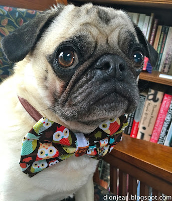 Liam the pug weating his bowtie