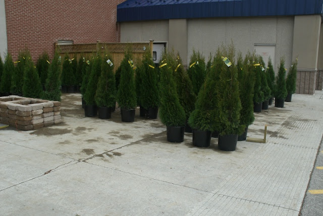 More Thuja occidentalis smaragd Emerald cedars in containers by garden muses: a Toronto gardening blog