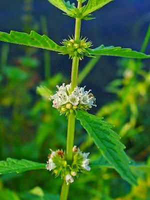 Benefits Of Bugleweed (Lycopus virginicus) For Health