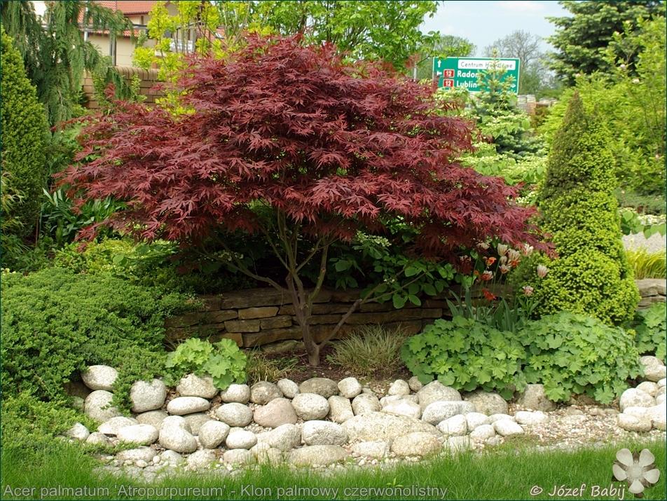 Acer palmatum 'Atropurpureum' - Klon palmowy czerwonolistny