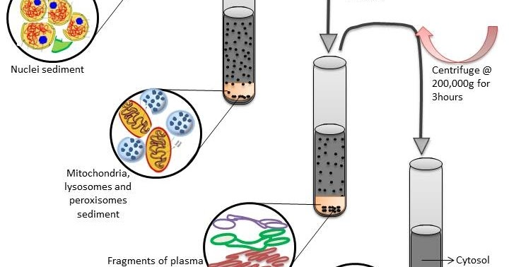 B for Biology: Isolation of Cell Organelles - Subcellular ...
