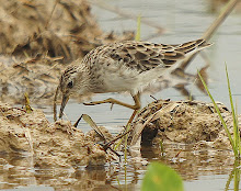 Long-toed stint_2011