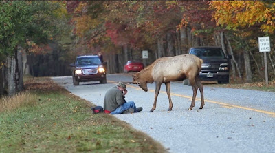 Elk versus photographer Great Smoky Mountains