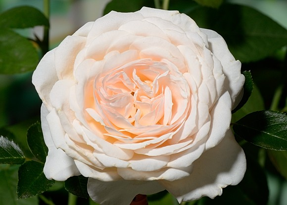 Cream Abundance rose сорт розы фото