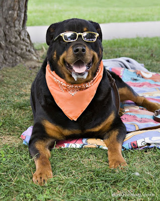 Rottweilers Page 3 For Sale Ads Free Classifieds Picture