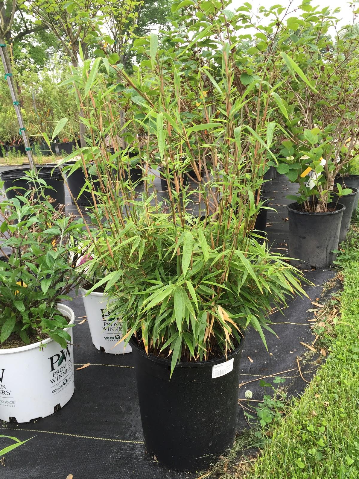 green panda bamboo bushy growth and tall stalks backyard neophyte