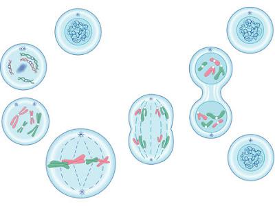 Divisão celular - Mitose