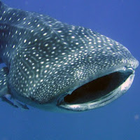 the whale shark is the world's largest fish