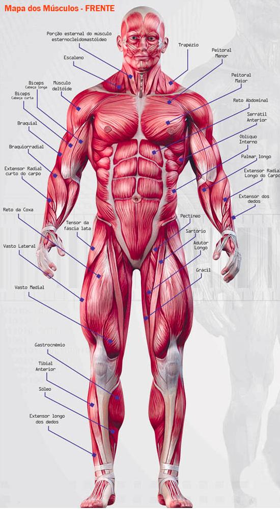 Lagartixa de Laboratório: Mapa dos Músculos