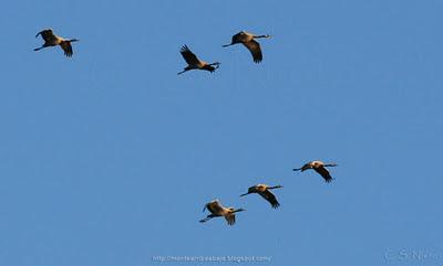 Grullas en vuelo de día