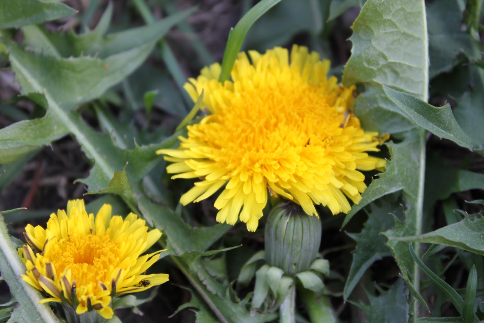 how to make dandelion tea with flowers
