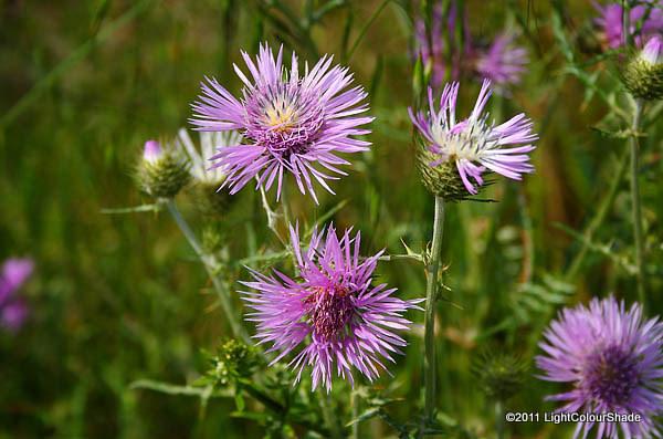 Purple starthistle, Centaurea calcitrapa