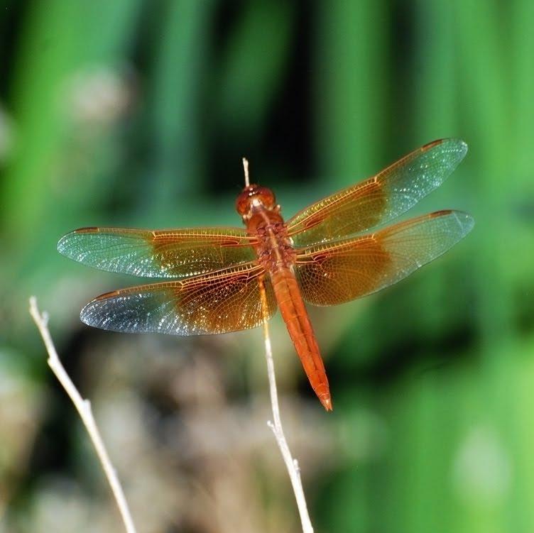 Libellula saturata Flame Skimmer_3224