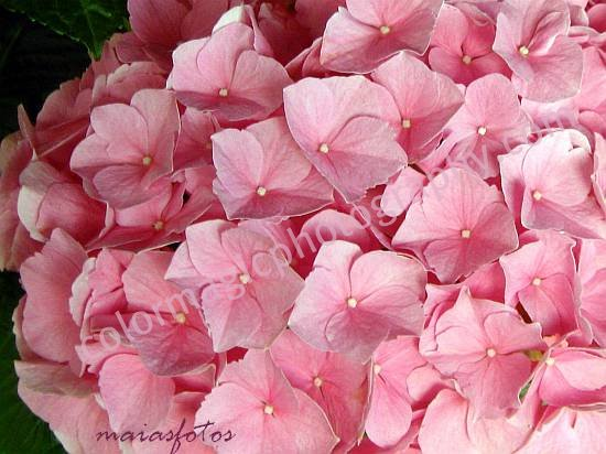 Pink hydrangea close up-Hortensia