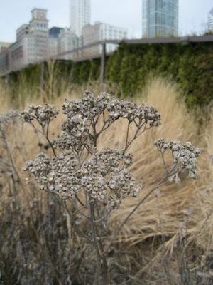 Wild quinine winter Lurie Garden