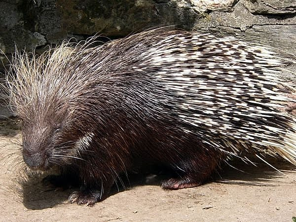 porcupines are likewise called plume pigs they are short over sized ...