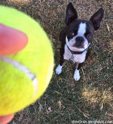 Boston terrier dog playing ball