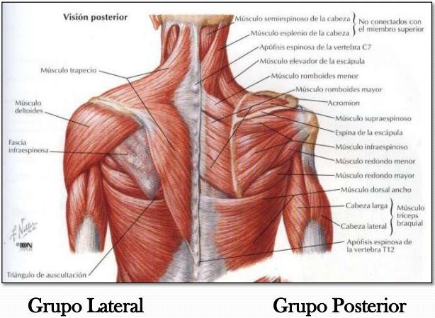 Musculos Del Hombro | iinmed