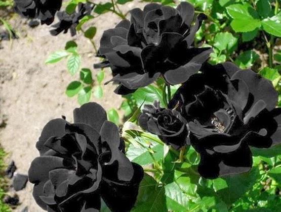 Imagenes De Rosas Negras Con Movimiento - imagenes de rosas negras con movimiento y brillo