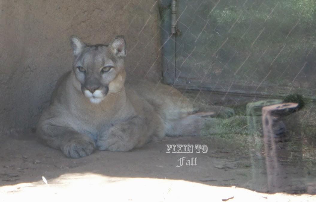 Cameron Park Zoo Cougar