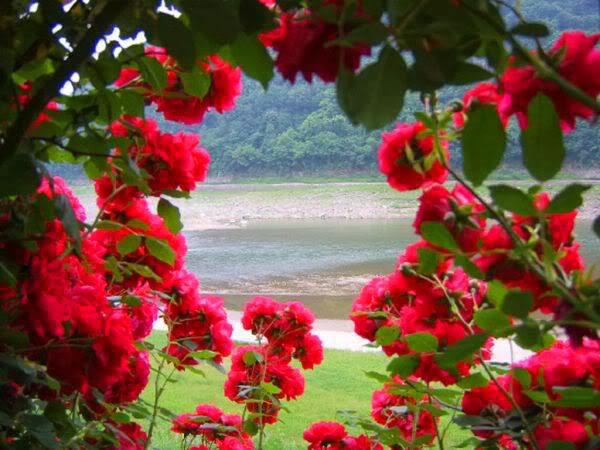 Rose Day 7th February Allfreshwallpaper