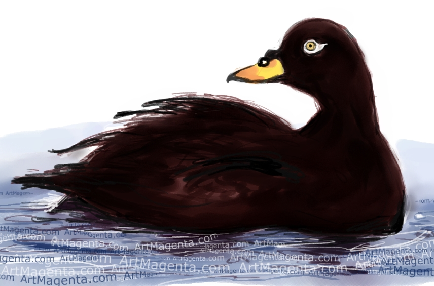 Velvet Scoter sketch painting. Bird art drawing by illustrator Artmagenta