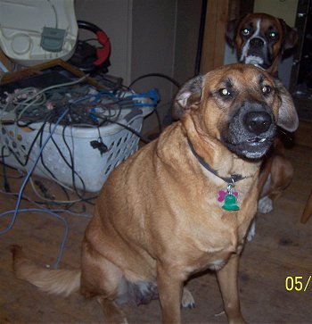 Boxer Bloodhound Mix Puppies Bloodhound box.