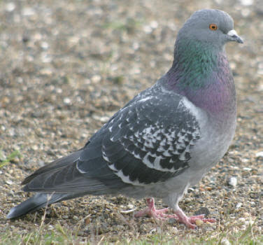 type of all pigeon bird information