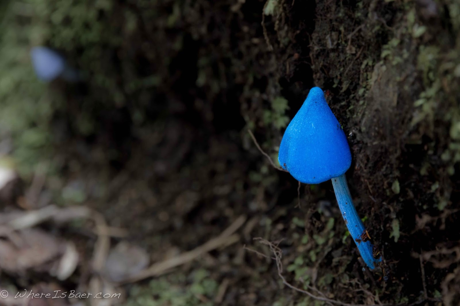 be patient on the hike in you never know what you might spot, I wonder what this one does, Chris Baer, kayak NZ, blue mushroom