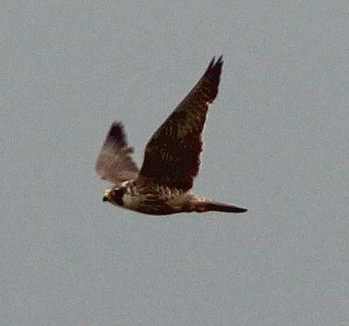 Fly Flatts Peregrine