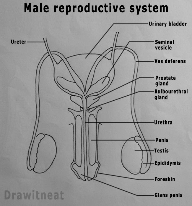draw it neat : how to draw male reproductive system - front view, Muscles
