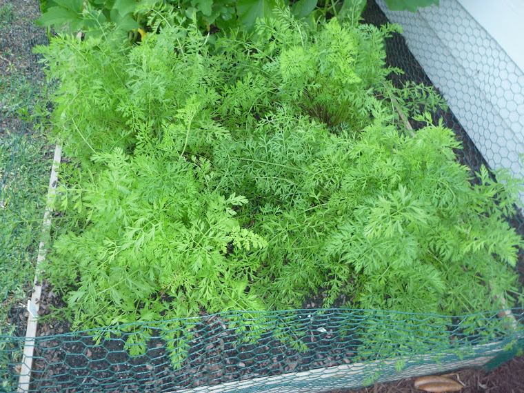 Thriving carrots