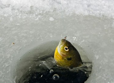 The wild harvest table ice fishing for Ice fishing for perch