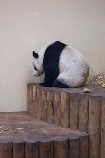 Giant panda photograph