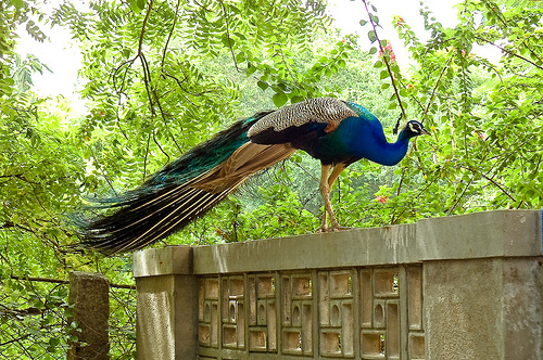 peacock on wall