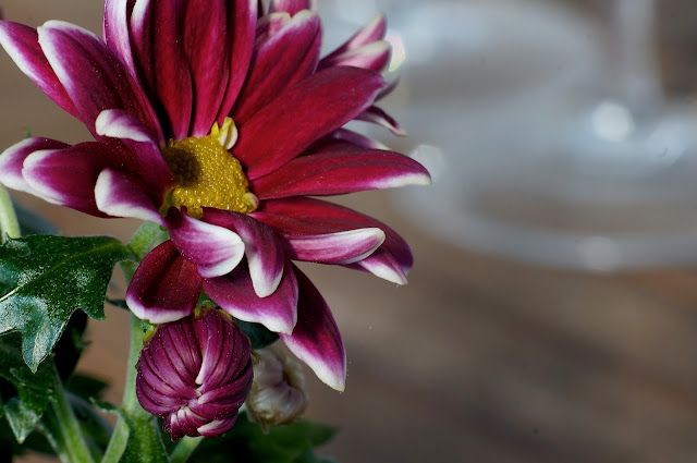 Osteosperum, wiosna, ogród