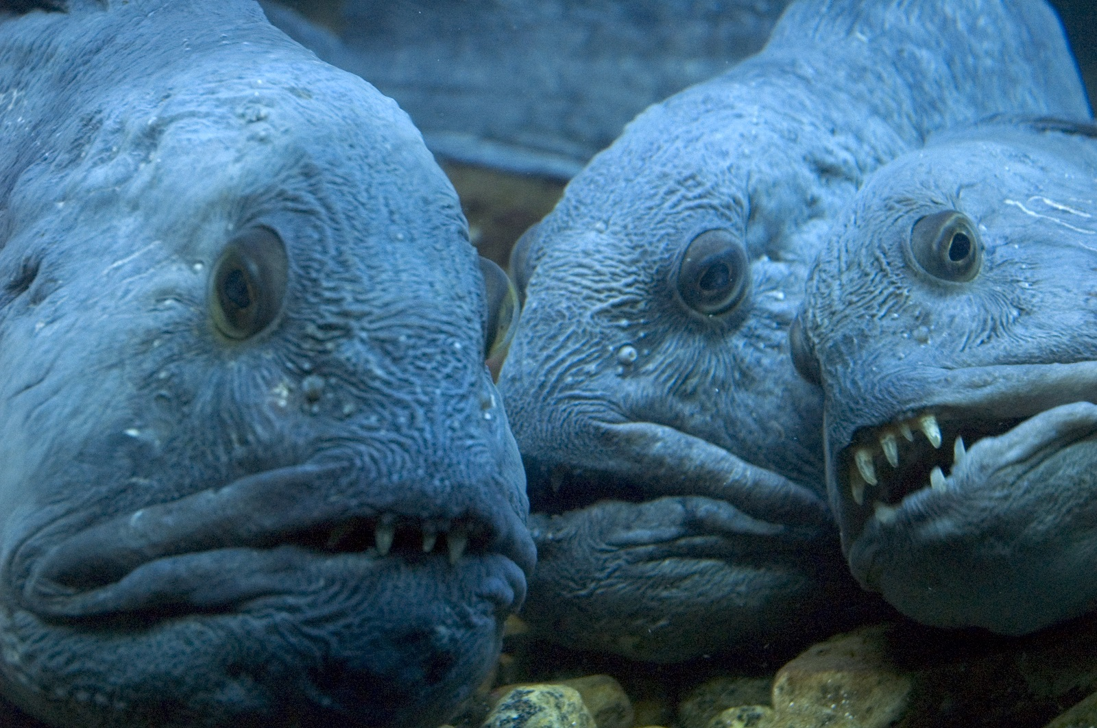 spotted wolffish